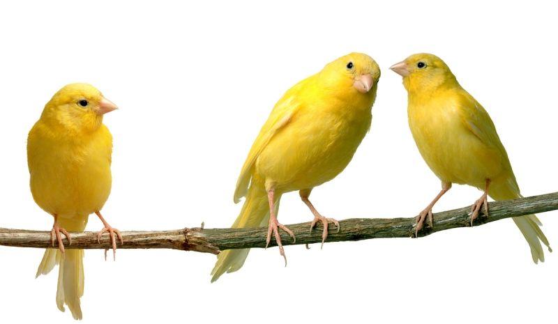 Várias espécies de canários estão na mostra que começou neste sábado