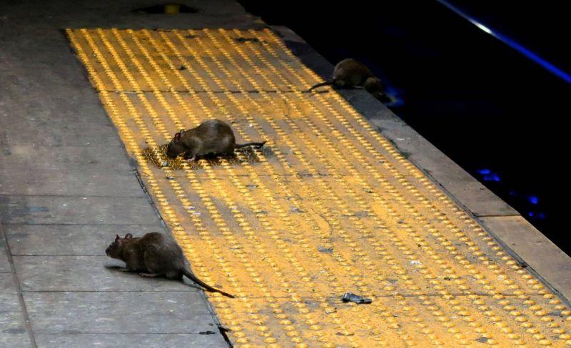 Ratazanas buscam por abrigo e comida no metrô de Nova York