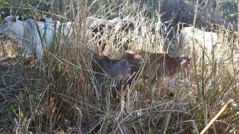 Os animais estavam escondido num pasto e seriam vendidos por R$ 2 mil.