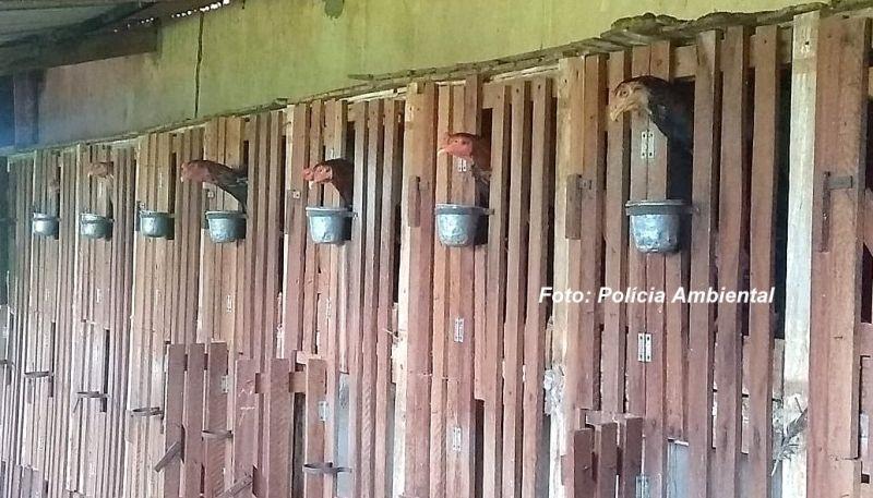 Os galos eram mantidos em local apertado, sem ventilação e água.