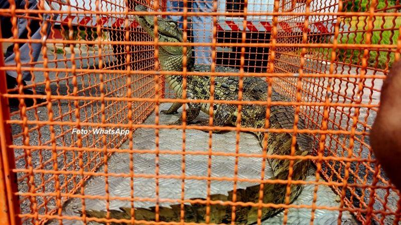 O jacaré foi colocado numa jaula e será encaminhado à Polícia Ambiental