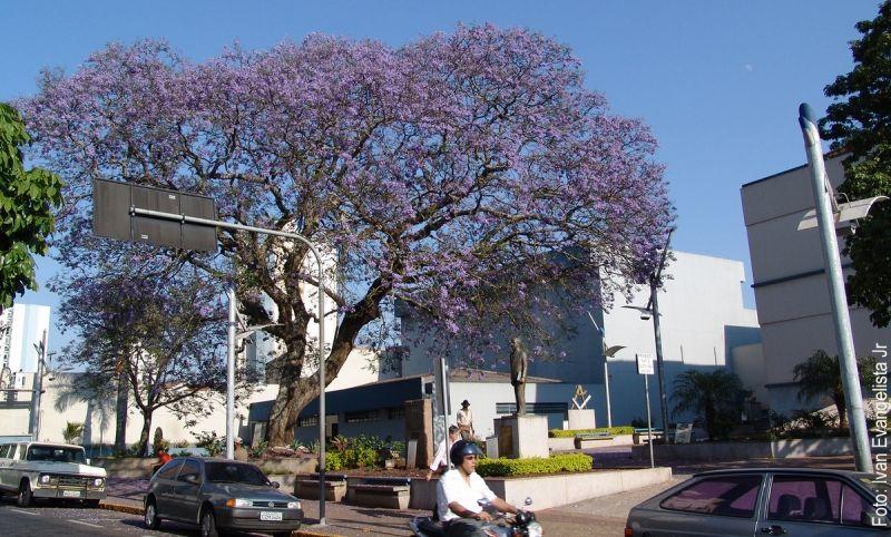 Jacarandá Minoso plantado na praça da Biblioteca Municipal.