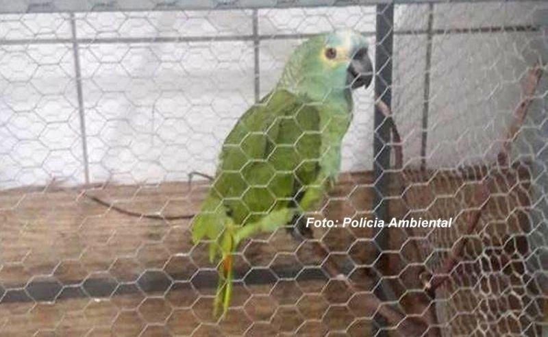 O papagaio foi apreendido pela Polícia Ambiental.