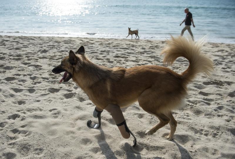 Cão tailandês é o primeiro a ter próteses de atletas paralímpicos