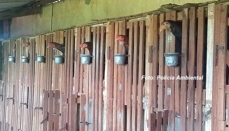 """""""Briga de galo"""" é descoberta pela Polícia Ambiental. Criador é multado em R$ 120 mil"""