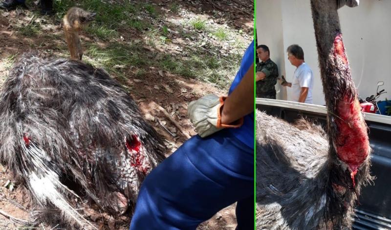 Morre avestruz atacado por onça no bosque municipal de Marília